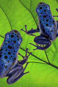 two blue frogs on leaf
