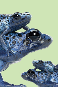 stack of blue frogs