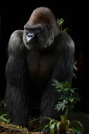 Green Gorilla CBD review