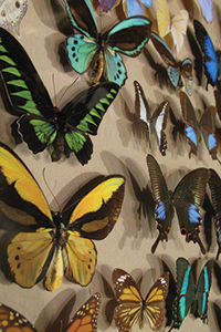 wall of butterfly specimens